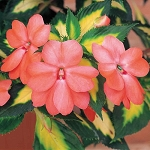 Variegated Spreading Impatiens