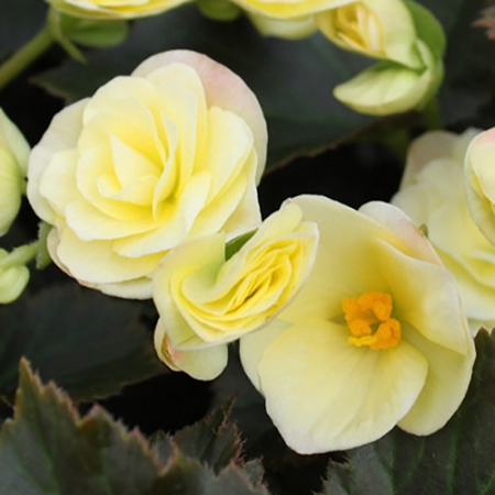 Solenia begonia light yellow dress