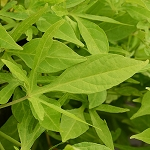 Sweet Potato Vine (Ipomoea)