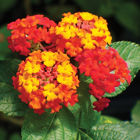 Lantana Bandana Red Great For Container Gardening Hanging