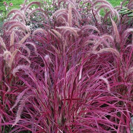 Dwarf pennistetum setaceum rubrum ornamental grass for Dwarf decorative grasses