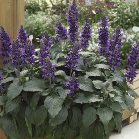 "Salvia, Mystic Spires: Blue ""Hummingbird Sage"""