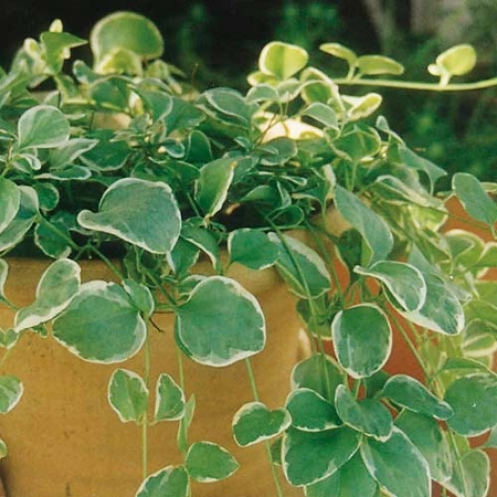 excellent long vine house plant. Zoom Vinca Vine  Variegated Green White