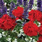 Firecracker Perfect Planter Designer Combination