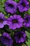Calibrachoa, Mini Famous: Blue