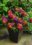 Lantana, Bandana: Cherry Sunrise