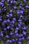 Lobelia, Magadi: Blue