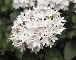Pentas, Lucky Star White