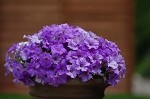 Mounding/Trailing Petunia, Surfinia: Heavenly Blue