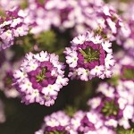 Verbena, Lanai: Purple Twister