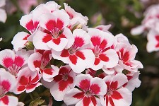 Zonal Cutting Geranium, Americana: White Splash