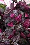 Alternanthera Choco Chili