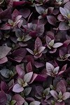 Alternanthera Little Ruby