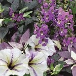 Amethyst Jewel Perfect Planter Designer Combination