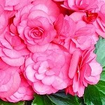 Begonia, Solenia Dusty Rose