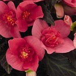 Begonia, Unbelievable, First Kiss