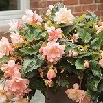 Begonia, Iconia  Miss Montreal