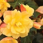 Begonia, Rise Up Aloha Gold