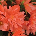 Begonia, Rise Up Salmon Chiffon