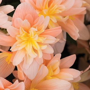Begonia, Rise Up Sansibel Peach