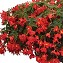 Boliviensis Begonia Shine Bright Red