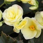 Begonia, Solenia Light Yellow
