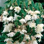 Begonia, Belleconia Snow