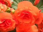 Begonia, Solenia Orange