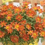 Bidens, Bee Dance Painted Red