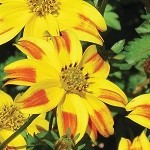 Bidens, Bee Dance Red Stripe