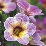 Calibrachoa, Chameleon Blue Berry Scone