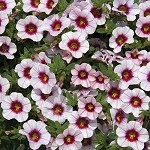 Calibrachoa, Neo: Salmon with Eye