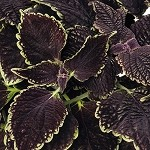 Coleus Designer Collection Abby Rd.