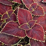 Coleus Designer Collection Broad St.