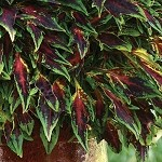 Coleus Designer Collection Flamethrower Chili Pepper