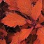 Coleus Designer Collection Flamethrower Habanero