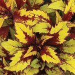 Coleus Designer Collection Flamethower Spiced Curry
