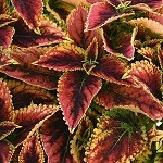 Coleus Designer Collection Granville Street
