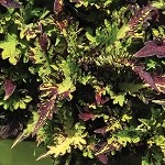Coleus Designer Collection Rodeo Drive
