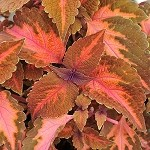 Coleus Designer Collection Sunset Blvd
