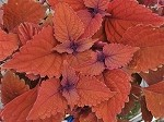 Coleus, Designer Collection Wall Street