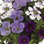 Shocking Blue Confetti Garden Designer Combination
