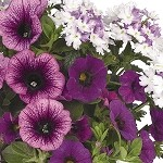 Shocking Purple Confetti Garden Designer Combination