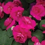 Double Impatiens, Fiesta: Purple