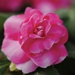 Double Impatiens, Fiesta: Sparkler Hot Pink