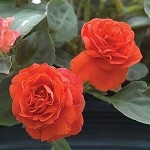 Double Impatiens, Fiesta: Deep Orange