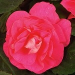 Double Impatiens, Silhouette: Rose