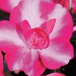 Double Impatiens, Silhouette: Rose Star