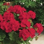 Interspecific Geranium, Calliope: Dark Red