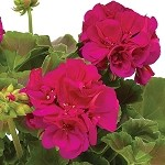 Interspecific Geranium, Calliope: Large Magenta